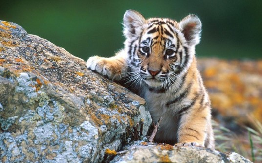 tiger day Images